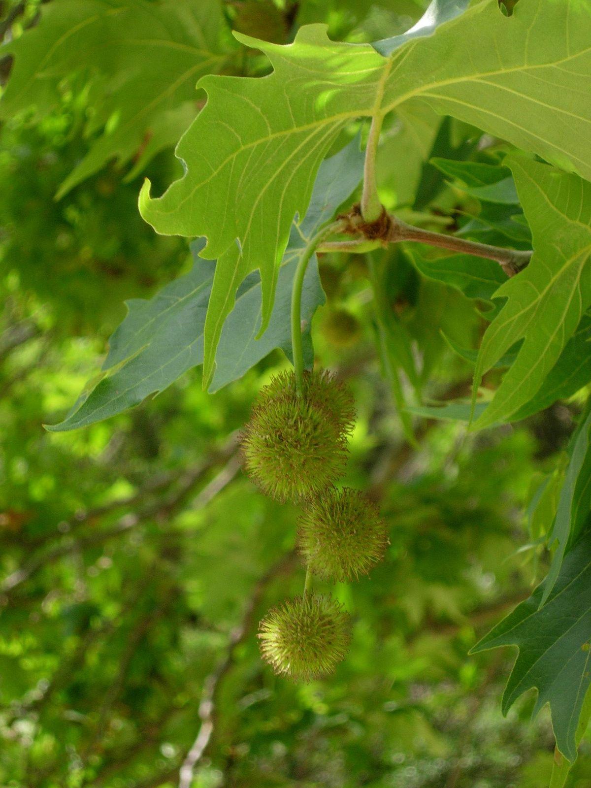 fruit platane